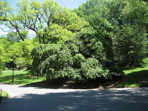 elm-tree-Prospect-Park